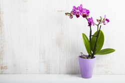 Orchid in pot on a wooden table. Beautiful indoor flowers close-up. Gift.