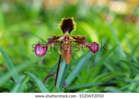 Orchid in Thailand. Orchid, Appleton's Paphiopedilum, Paphiopedilum appletonianum (Gower) Rolfe, Orchidaceae