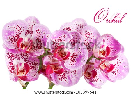 Orchid isolated on a white background