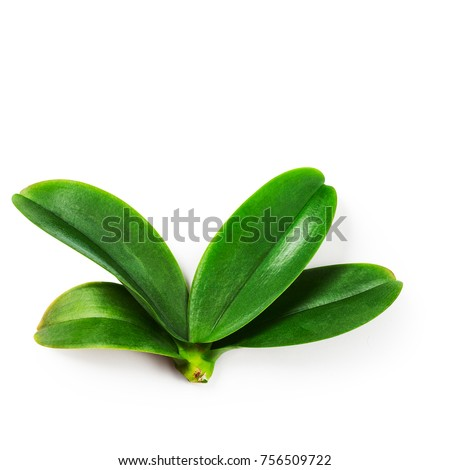 Orchid leaves on white background clipping path included. Top view, flat lay