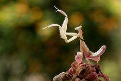 Orchid Mantis or Flower Mantis (Hymenopus coronatus), is a mantis from Southeast Asia.