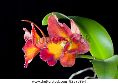 Orchid of thailand