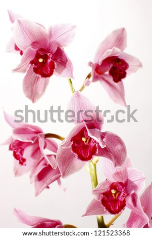 Orchid  on white background - stock photo