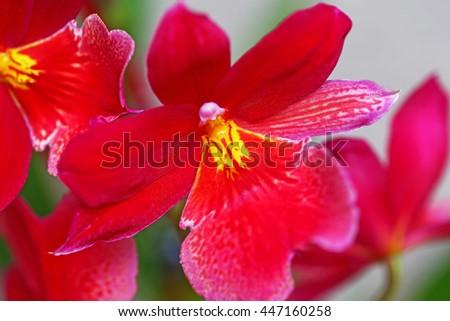 Orchid Pink flowers fragrant Vuylstekeara Cambria Plush. Burrageara Nelly Isler
