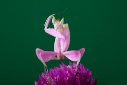 Orchid pink mantis perched on a flower