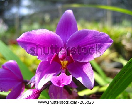 Singapore Orchids Picture on Orchid  Singapore National Flower Stock Photo 205823   Shutterstock