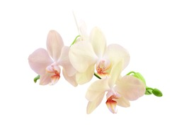 Orchid sprig with pink flowers and buds isolated on a white background.