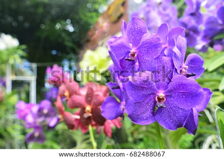 orchid vanda in the orchid farm ...