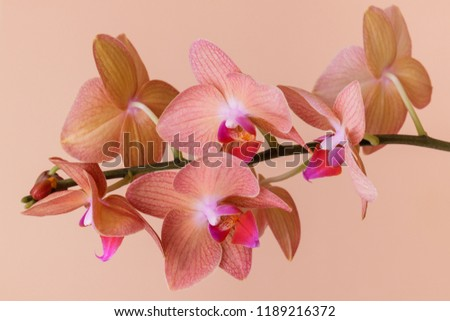 Orchidaceae. Flowering orchidaceae on beige background . Stem with flowers close-up. Selective focus. Close-up.