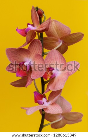 Orchidaceae. Flowering orchidaceae on pastel yellow background . Stem with flowers close-up.