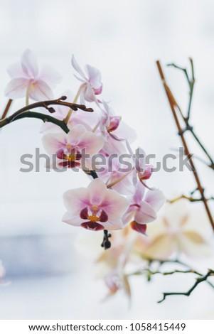 orchidaceae. flowering...