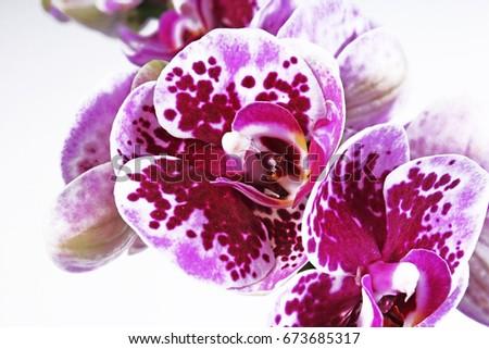 orchidaceae. the orchidaceae...