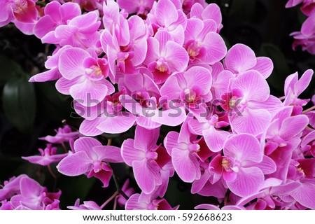 Orchids close up, Thai orchids. Cymbidium hybrids Orchids.