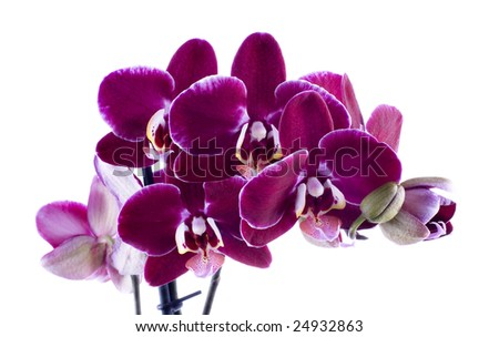 orchids isolated on white