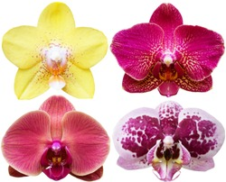 Orchids isolated on white background. Flowers with yellow, purple pink petals and white spots. Phalaenopsis or Moth kind. Floral design element