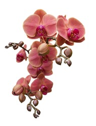 Orchird Flowers Branch Isolated on white background. Warm pink rose petals and purple yellow lip. Phalaenopsis Moth kind. Floral design element for cards, invitations, posters.