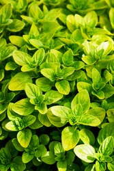 Oregano bright green furry new leaves. Origanum vulgare. Fresh oregano growing in the herb garden. Cuisine herbs. Summer natural organic healthy food.