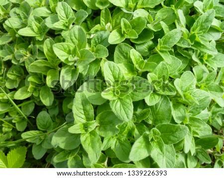 Oregano bright green furry new leaves (Origanum vulgare). Fresh oregano growing in the herb garden. Cuisine herbs. Summer natural organic healthy food.  Stock photo ©