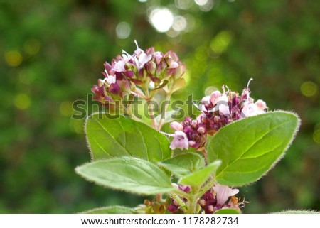 oregano.flowering oregano macro on a  green background.origanum vulgare.spicy herbs #1178282734