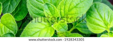 Oregano green leaves background. Fresh green oregano plant  in the garden, top view, macro. Pizza-oregano Origanum vulgare sups. hirtum leafs Stock photo ©