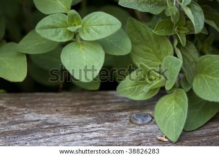 Oregano growing in a herb garden, with rough timber border.
