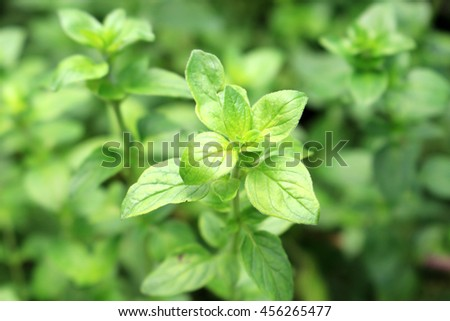 Oregano herb field #456265477