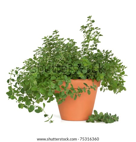 Oregano herb plant growing in a terracotta pot isolated over white background. #75316360