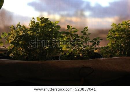 Oregano Herbs #523859041