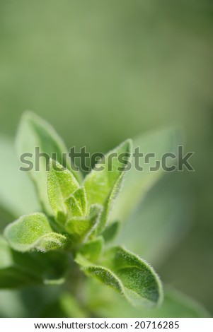 Oregano, in close-up in herb garden in early morning sunlight.  Lots of copy-space.