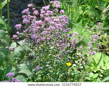 Oregano Origanum vulgare, Flowering Homegrown Organic