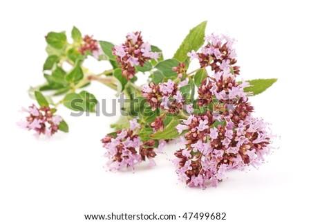 oregano with flower