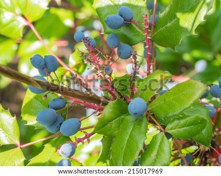 Oregon grape (Mahonia aquifolium) is a species of flowering plant in the family Berberidaceae, native to western North America