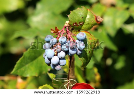 Oregon grape or Mahonia aquifolium evergreen shrub flowering plant with small cluster of dusty blue berries and pinnate leaves made up of spiny leathery leaflets growing in local home garden on warm