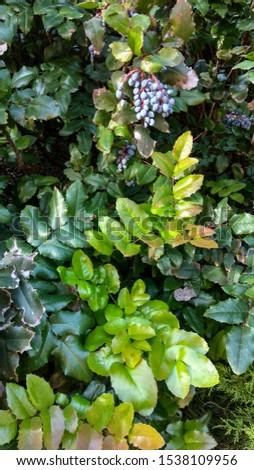 Oregon grape shrub branches having luxuriant, glabrous, spiny light green & dark green foliage with a cluster of blue berries with whitish coating. Glossy, spiny-edged (like holly) leaves.  #1538109956
