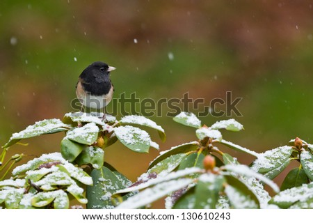 Oregon Junco (Junco hyemalis oreganus) perched on covered with snow rhododendron bush.