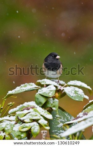 Oregon Junco (Junco hyemalis oreganus) perched on covered with snow rhododendron bush.