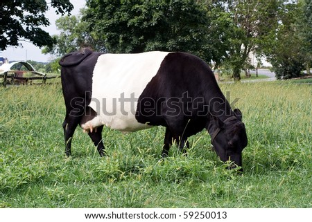 Oreo Cookie Cow (Belted Galloway)