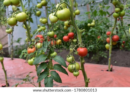 Organic and home-grown tomatoes in ripening faze.  Foto stock ©
