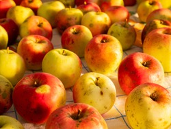 Organic apples grown without pesticides. Diseases of apples, flyspeck and sooty blotch. Fungi on fruit.