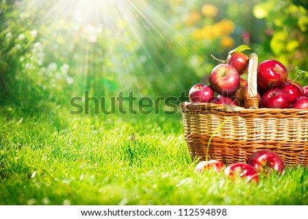 Organic Apples in the Basket.Orchard.Garden.Space for your text