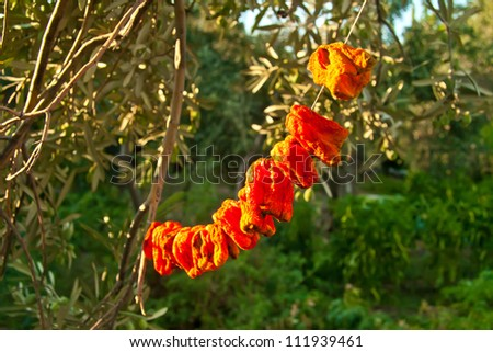 Organic Bell Peppers Hanged To Sun Dry  on a string under olive trees