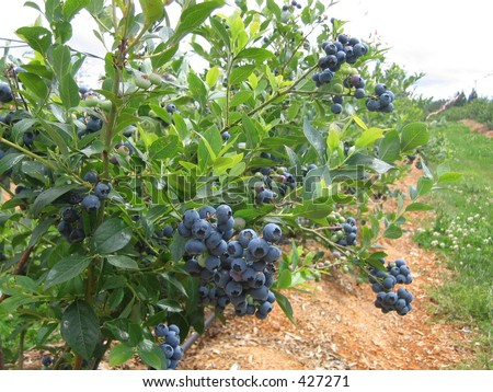 organic blueberry farm