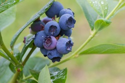 Organic blueberry on plant