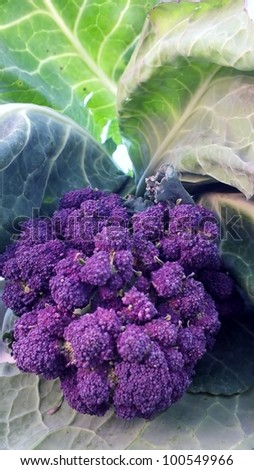 organic cabbage and purple sprouting broccoli