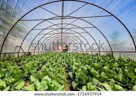 Organic cabbage growing in micro farm greenhouse Foto stock ©