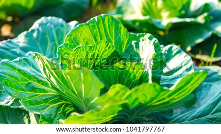 Organic cabbage vegetable food in field garden. Cabbage or headed cabbage  is a leafy green and biennial plant grown as an annual vegetable. It agriculture in Thailand