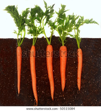 Organic Carrots Organic Carrots Growing in