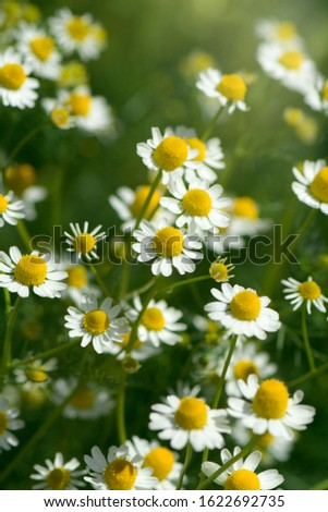 Organic Chamomile (Chamaemelum nobile L.). on natural plantation field. Chamomile is used for sleep aid, mild sedative, lower anxiety and some inflammation inside the body.