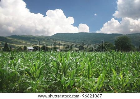 organic corn field in summer - stock photo