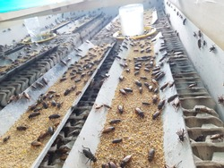 Organic crickets insect farm Thailand